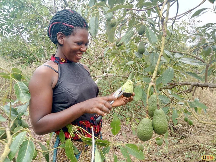 A farmer admires her avocado fruit
