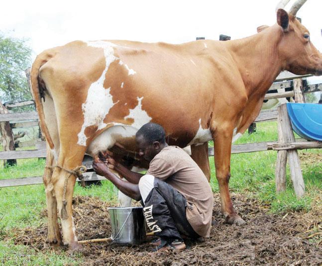 A farmer milking a cow