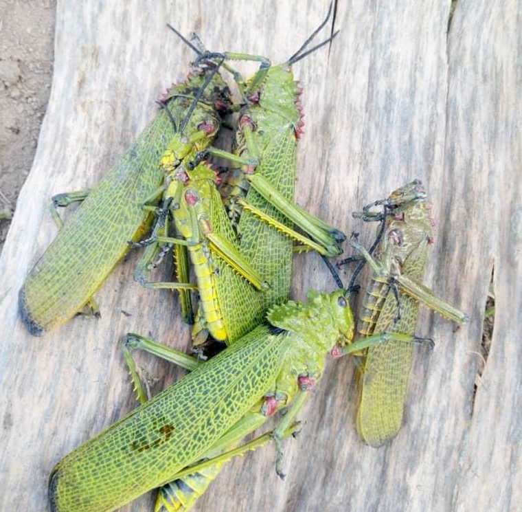 The locust-lookalike pests attacked plants in Masaka