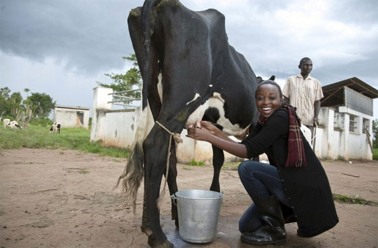 A student milking a cow at  Bukalasa Agricultural College
