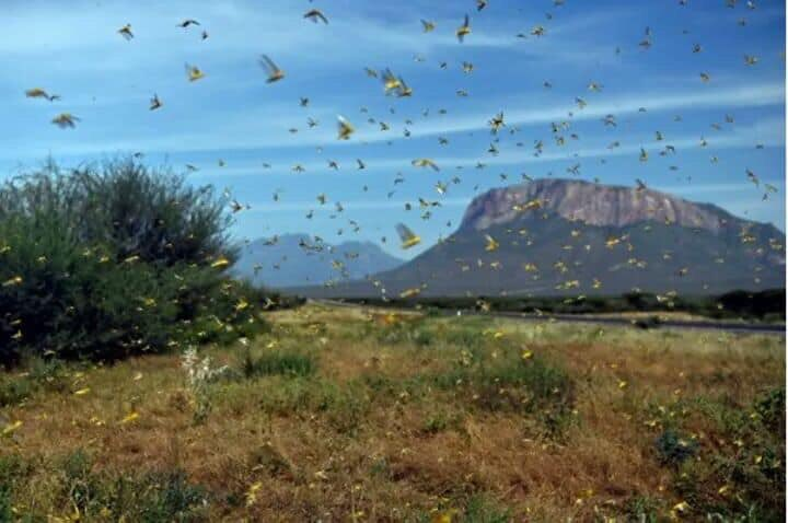 FILE Locusts in Karamoja. Photo: @esule_leila