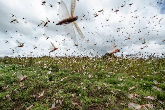 Locusts entered Uganda yesterday
