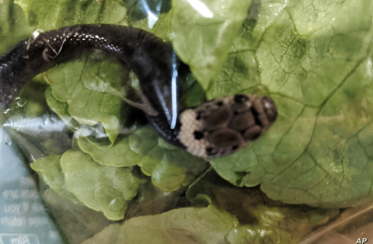 In this photo provided by Alex White, a pale-headed snake is seen in a bag of lettuce in Sydney