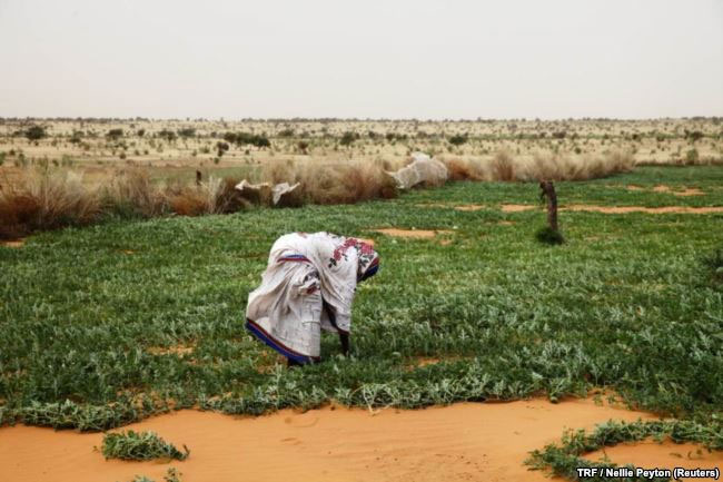 A woman works in a melon patch in the commune of Dar El Barka, Mauritania,